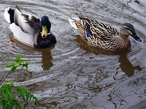 Deux canards sur les bords de l'Isles