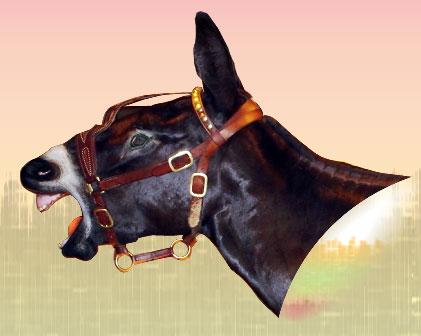 Une grosse tête de mule