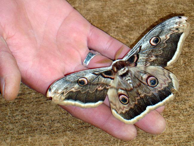 Papillon dans la main de Mansur